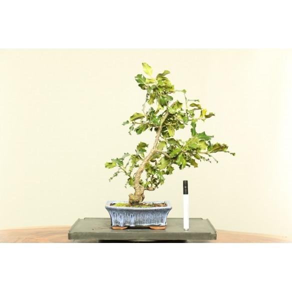 Azevinho - Ilex Aquifolium...