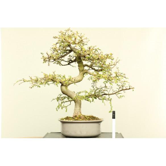 Ulmus parvifolia - B0006