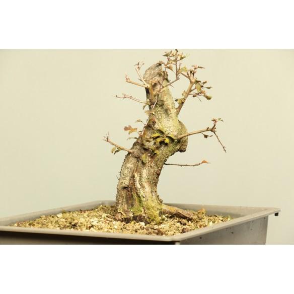 Crataegus monogyna - B0009