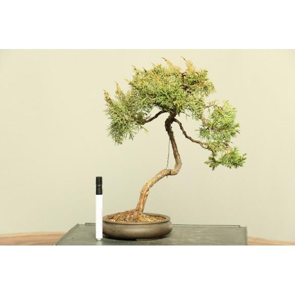Juniperus spp. - B0011