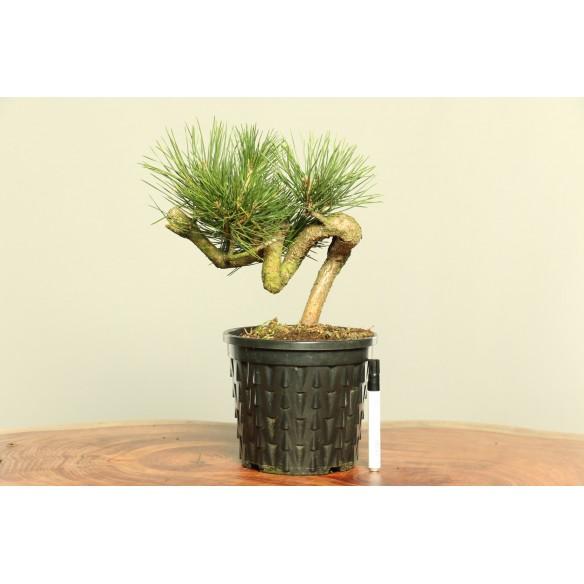 Pinus thumbergii -  B0017