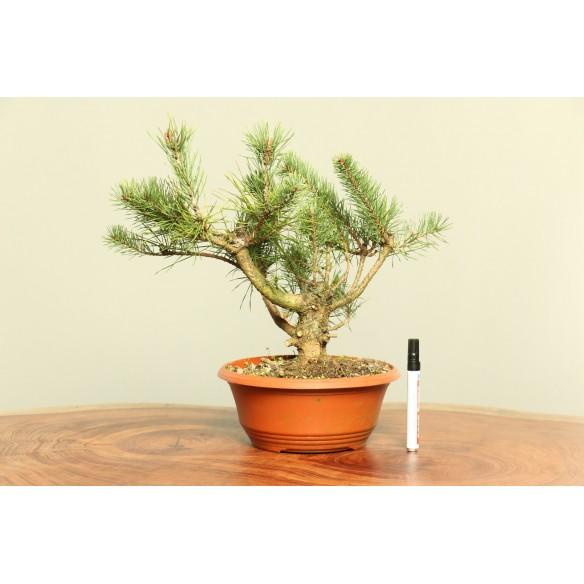 Pinus sylvestris - B0018