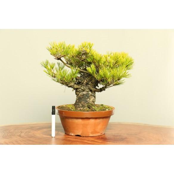 Pinus Densiflora - B0049