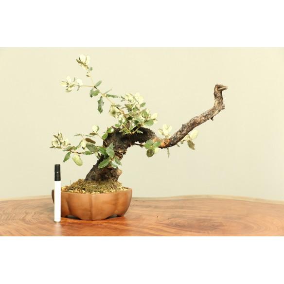 Quercus ilex - B0021