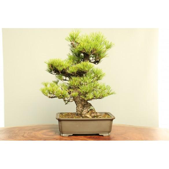 Pinus thunbergii - B0023