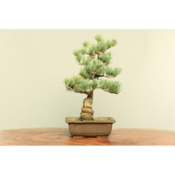 Pinus parviflora - B0027