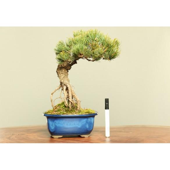 Pinus parviflora - B0030
