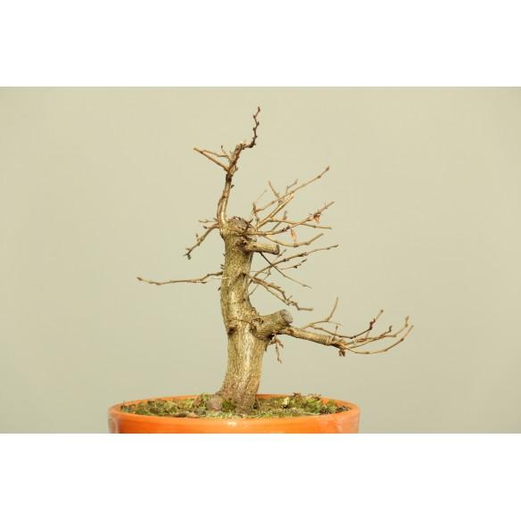 Carpinus turczaninovii - B0031