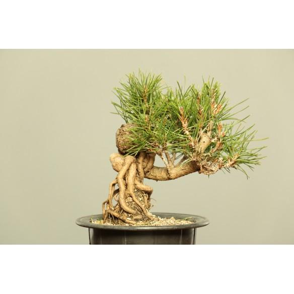 Pinus thumbergii - B0040
