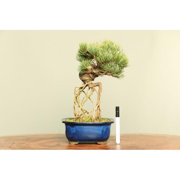 Pinus parviflora - B0042