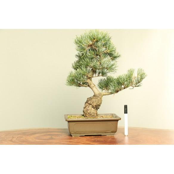 Pinus parviflora - B0052