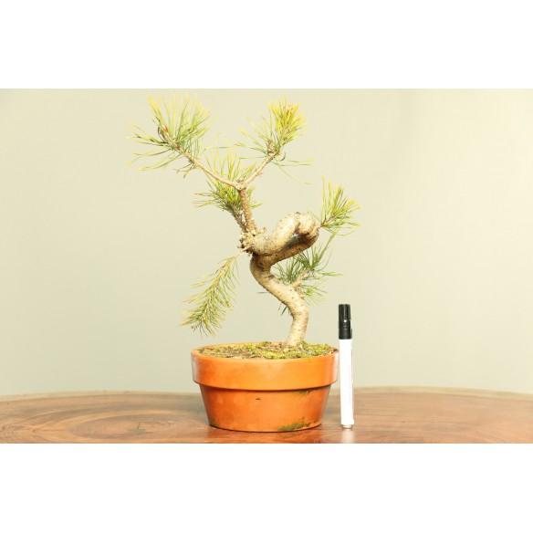 Pinus sylvestris - B0053