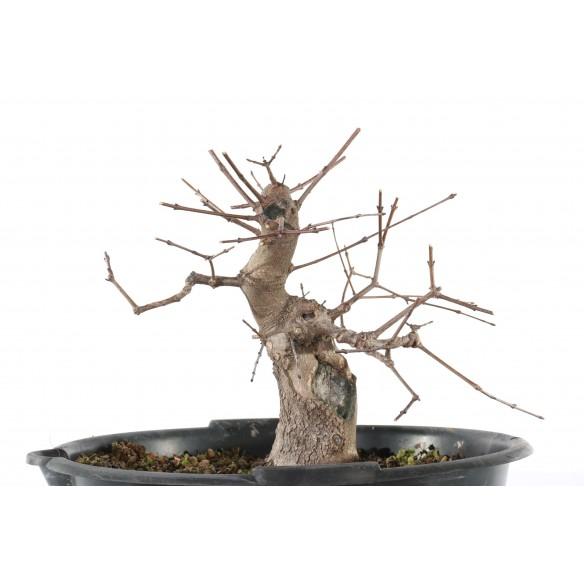 Acer monspessulanum - B_194