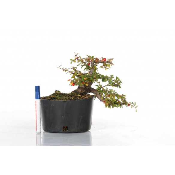 Cotoneaster spp. - B_218