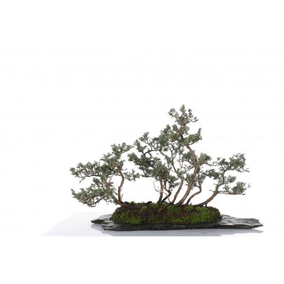 Juniperus communis - B_224