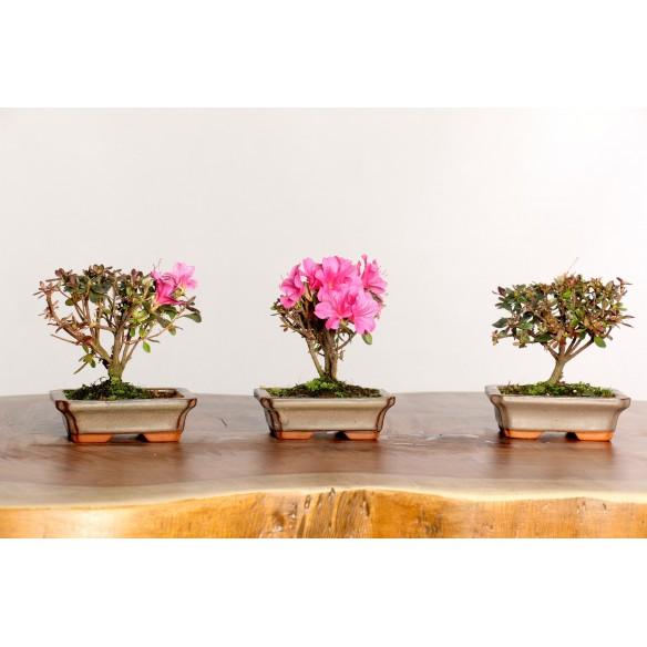 Bonsai - Azalea satsuki