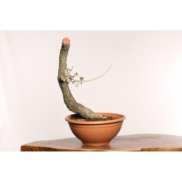 Quercus Yamadori Y0010