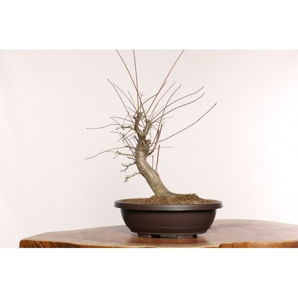 Prunus cerasifera - Y0012