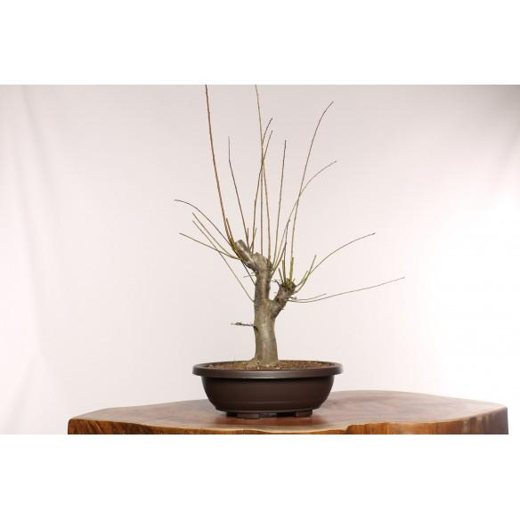 Prunus cerasifera - Y0013