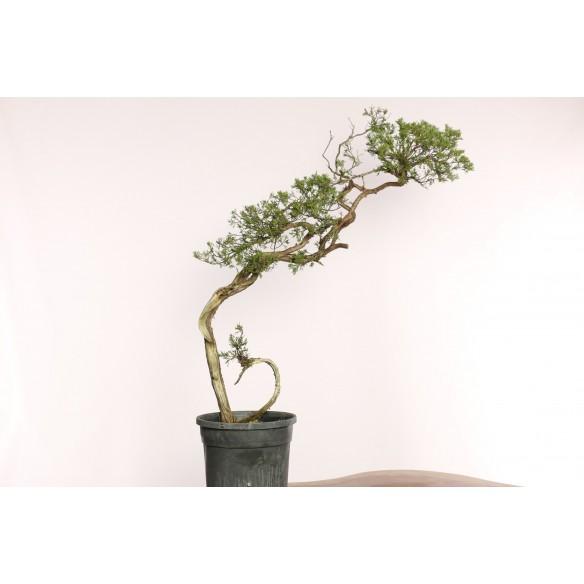 Juniperus sabina - B0068