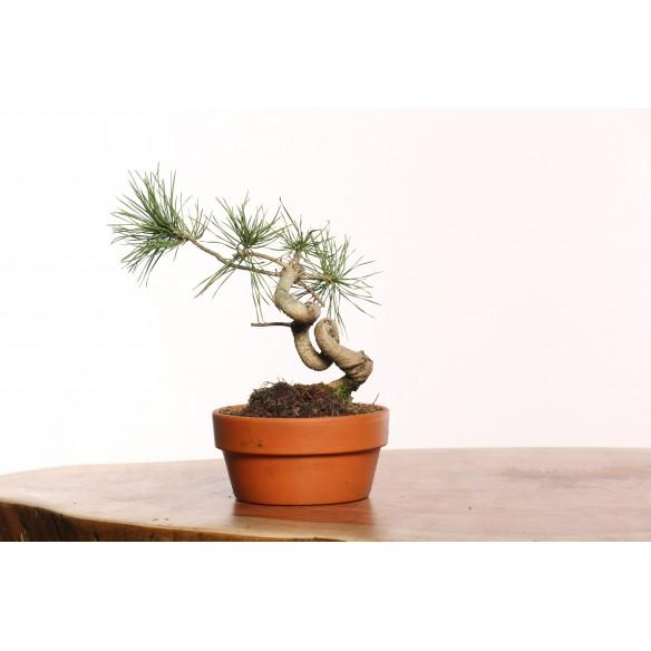 Pinus sylvestris - B0074