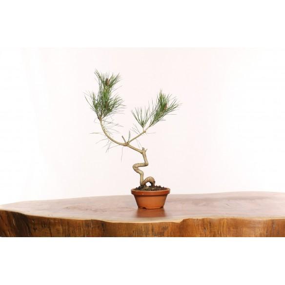 Pinus densiflora - B0079