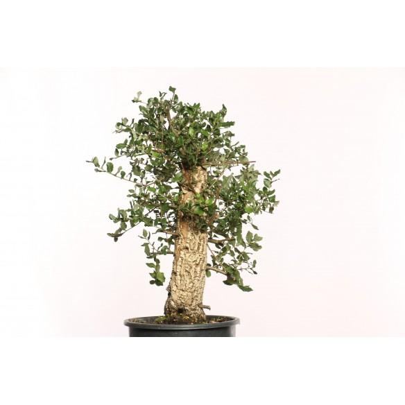 Quercus suber - B0107