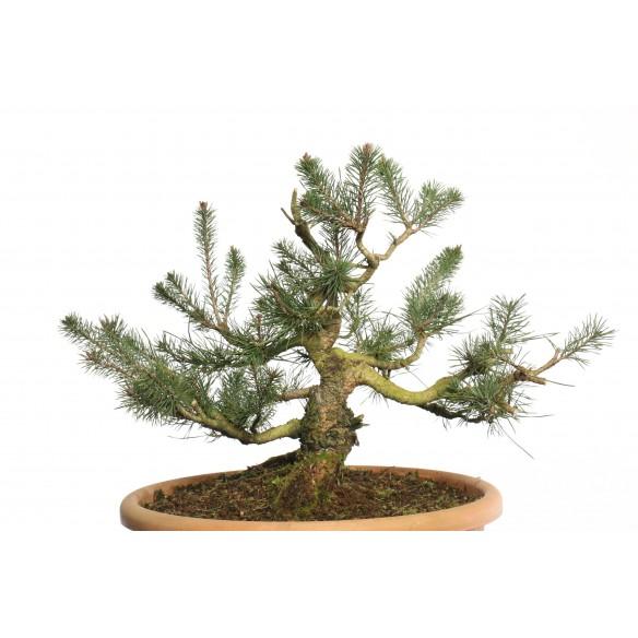 Pinus sylvestris - B0120