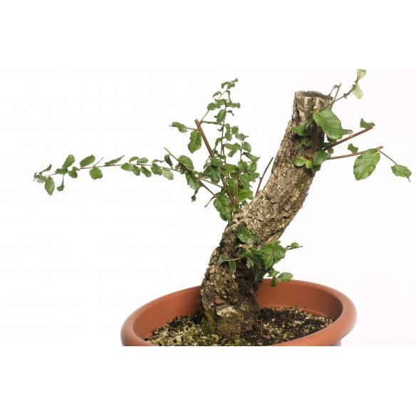 Quercus suber - B0124