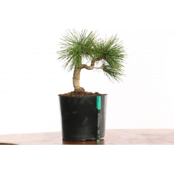 Pinus sylvestris - B0127