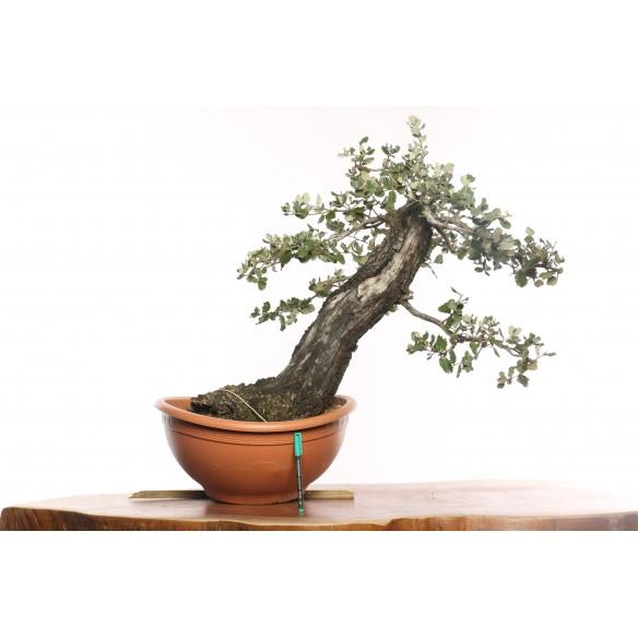 Quercus ilex - B0128