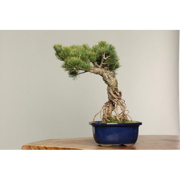 Pinus parviflora - B0146