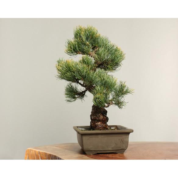 Pinus Parviflora - B0157