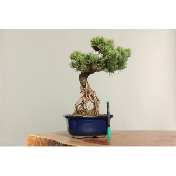 Pinus parviflora - B0161
