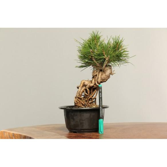 Pinus thunbergii - B0171