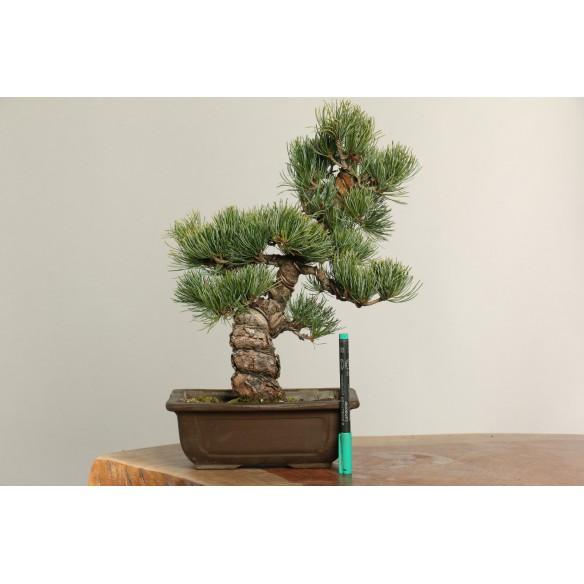 Pinus parviflora - B0180