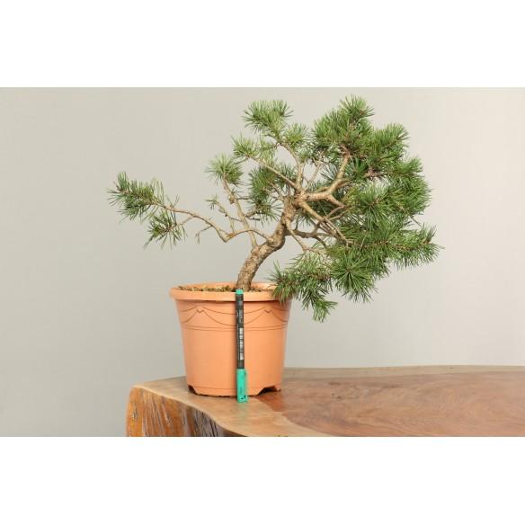 Pinus sylvestris - B0183