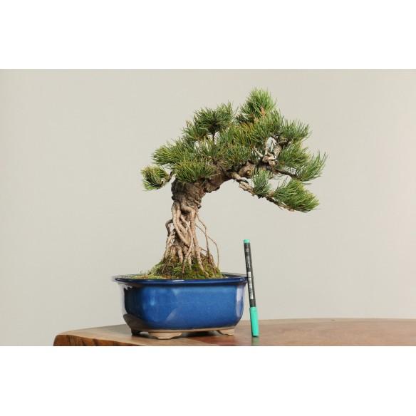 Pinus parviflora - B0186