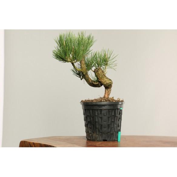 Pinus thunbergii - B0189