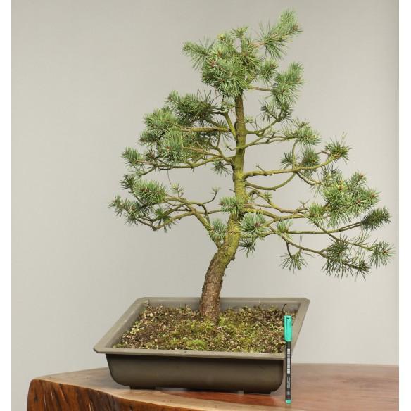 Pinus sylvestris - B0195