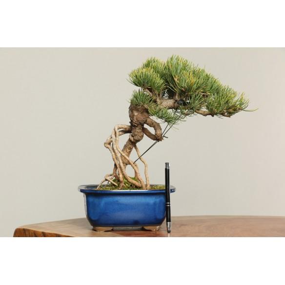 Pinus parviflora - B0201