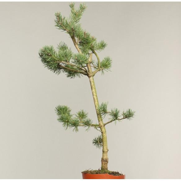 Pinus sylvestris - B0203