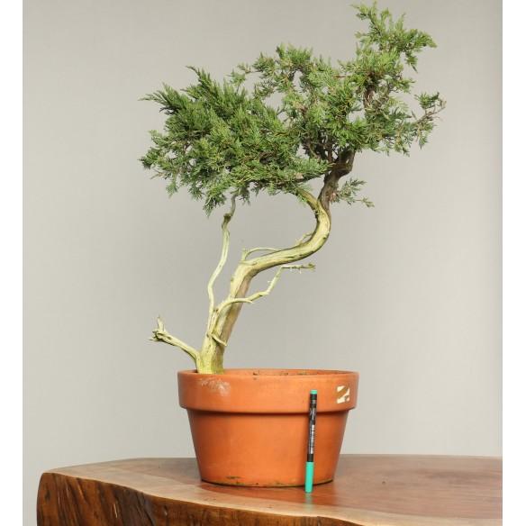 Juniperus sabina - B0206