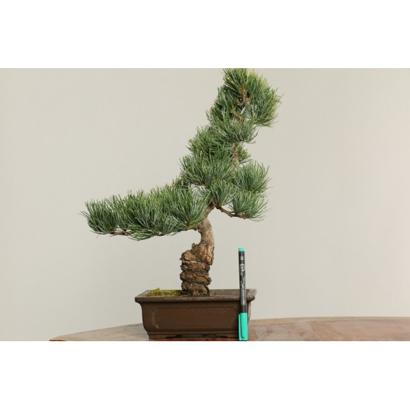 Pinus parviflora - B0213
