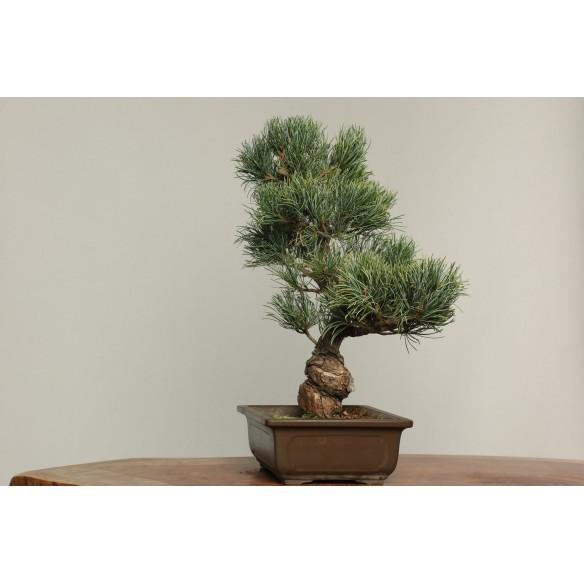 Pinus parviflora - B0224