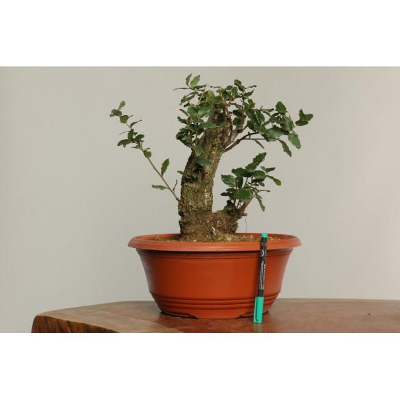 Quercus suber - B0230