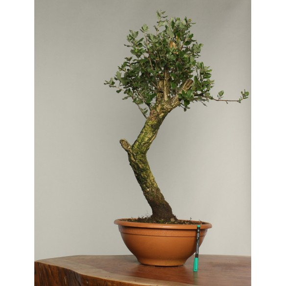 Quercus suber - B0237