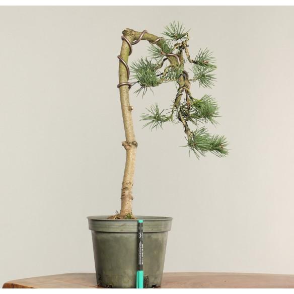 Pinus sylvestris - B0239
