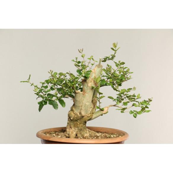 Ligustrum sinensis - B0241