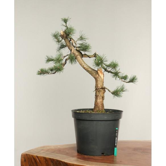 Pinus sylvestris - B0242